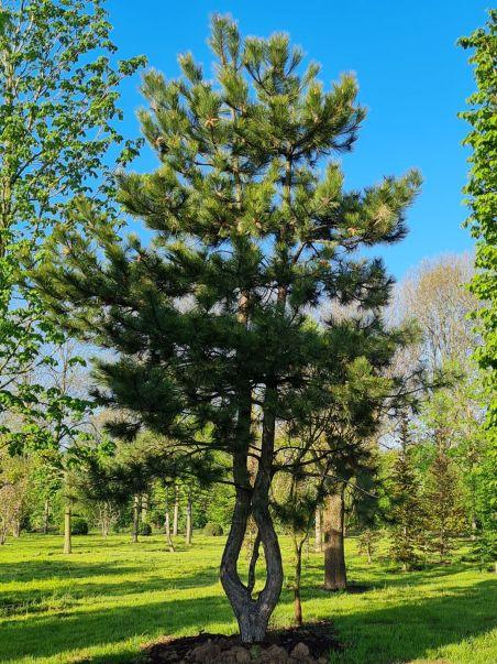 Oostenrijkse den   Pinus nigra 'Nigra'   Meerstammige den   Volwassen meerstammige den