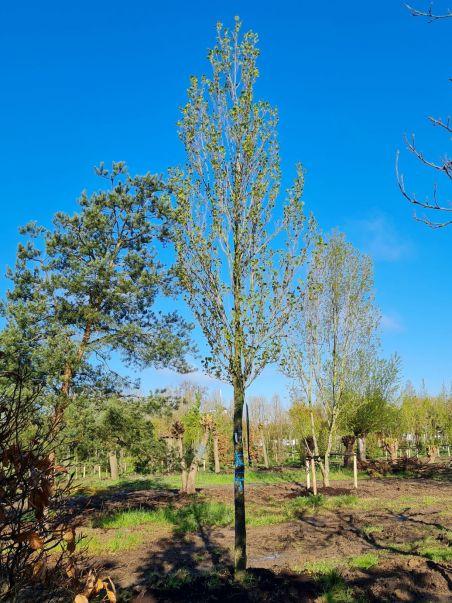 Zuilvormige Tulpenboom