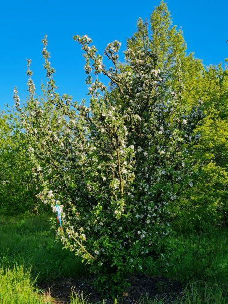 Wilde appel | Malus sylvestris | Appelstruik