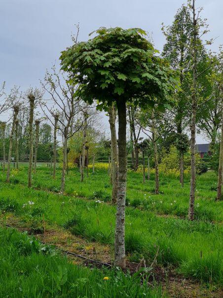 Bolesdoorn | Acer platanoides 'Globosum' | Bolesdoorn hoogstam |