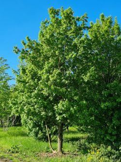 Veldesdoorn | Acer campestre | Meerstammige veldesdoorn