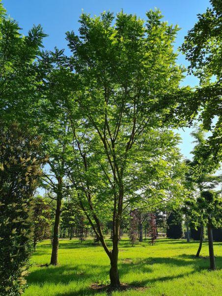 Meerstammige Witte Acacia | Robinia pseudoacacia