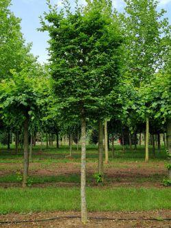 Kubus haagbeuk | Blok haagbeuk | Blok op stam | Carpinus blok | Carpinus betulus