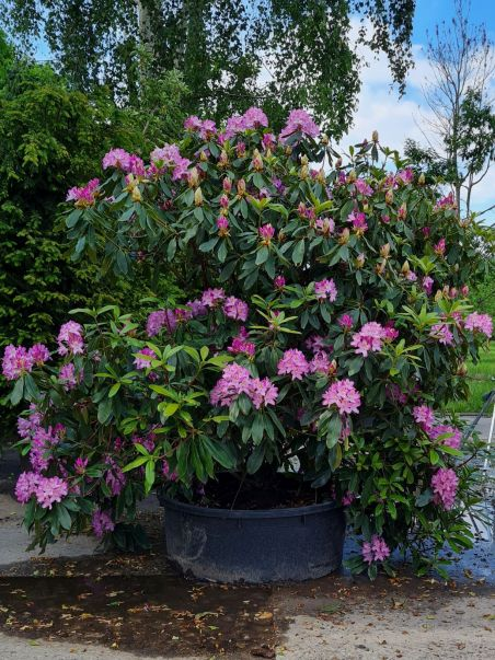 Rhododendron ponticum 'Roseum' | Bosrhododendron | Pontische rododendron