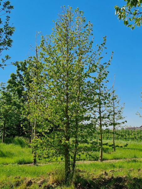 Meerstammige hazelnootboom