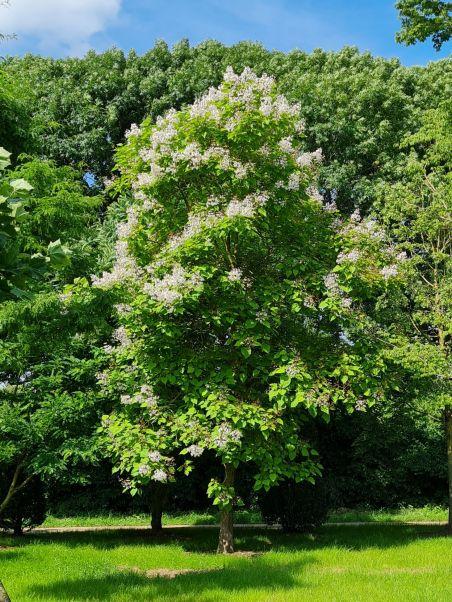 Groene trompetboom