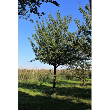 Pyrus communis 'Beech hill' - Gewone peer