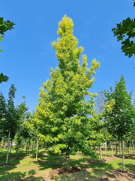 Gouden Amberboom