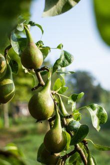 Volwassen fruitbomen kopen? Grote en oude fruitbomen van Brienissen.nl