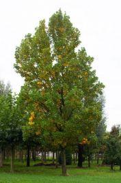 Laan- en parkbomen