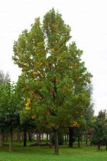 Volwassen bomen kopen? | Grote & Oude bomen koop je bij Brienissen.nl!