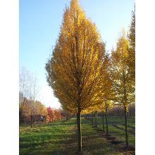 Zuilvormige haagbeuk - Carpinus betulus 'Fastigiata'