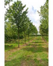 Noorse esdoorn - Acer platanoides