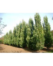 Piramide Eik - Quercus robur 'Fastigiata Koster'