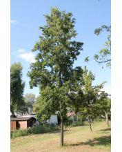 Kastanjebladige eik  - Quercus castaneifolia 'Green spire'
