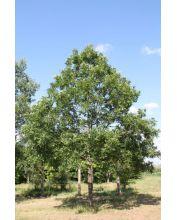 Wintergroene eik - Quercus turneri 'Pseudoturneri'