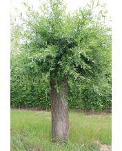 Wilg - Salix alba