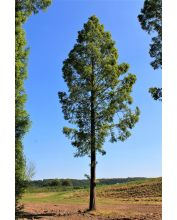 Watercipres - Metasequoia glyptostroboides