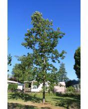 Eiken bomen