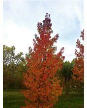 Amber bomen