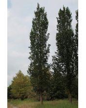 Iepen bomen