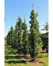 Zuileik - Quercus xbimundorum 'Crimson spire'