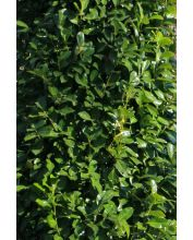 Laurierkers - Prunus laurocerasus 'Rotundifolia'