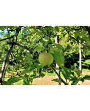 Appel - Malus domestica
