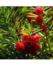 Venijnboom - Taxus baccata